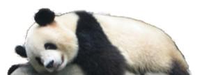 Magnifique Panda pris au grandiose zoo de Beijing, Chine